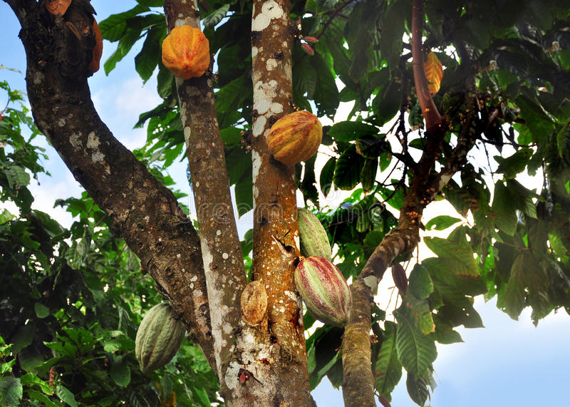 Cacao pod on tree stock photos