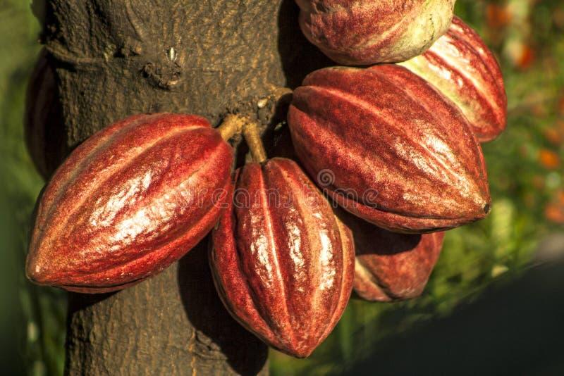 Cacao pod stock photos