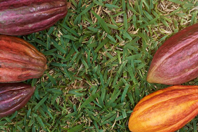 Cacao pods frame with green grass background royalty free stock photo