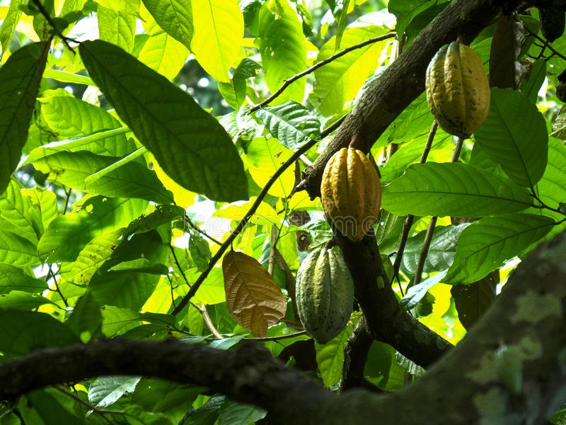 Cacao pods growing on a tree at a plantation on bali. Low angle view of several cacao pods growing on a tree at a plantation on bali royalty free stock images