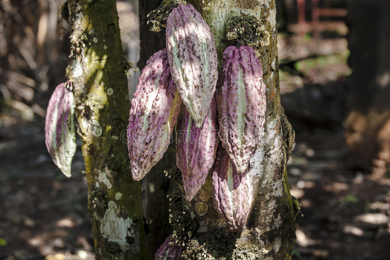 Cacao pods on tree stock photos