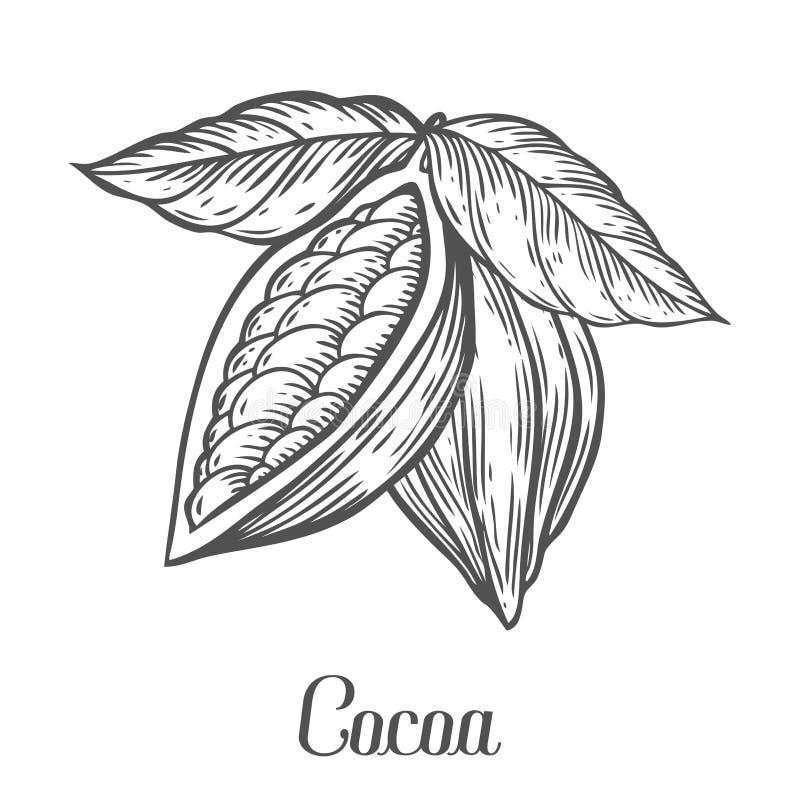 Cacao ręka rysująca Kakaowa botanika wektoru ilustracja Doodle zdrowy odżywki jedzenie ilustracji