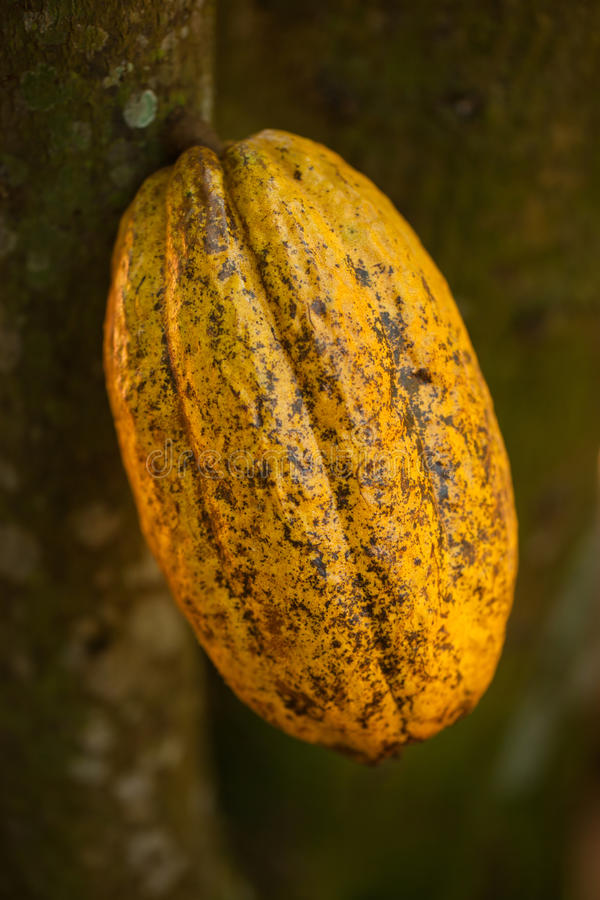 cacao strąk obrazy stock