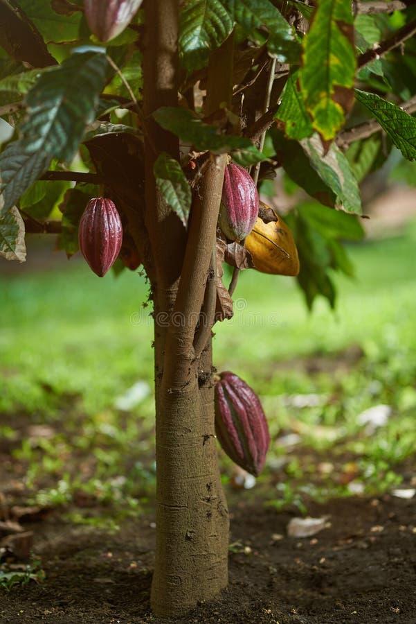 Cacao tree plant royalty free stock photos
