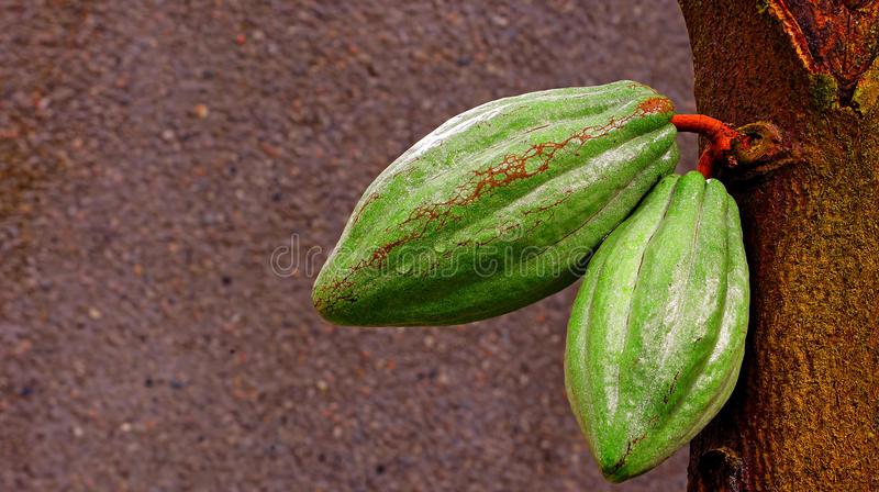 Cacaopeulen royalty-vrije stock afbeelding