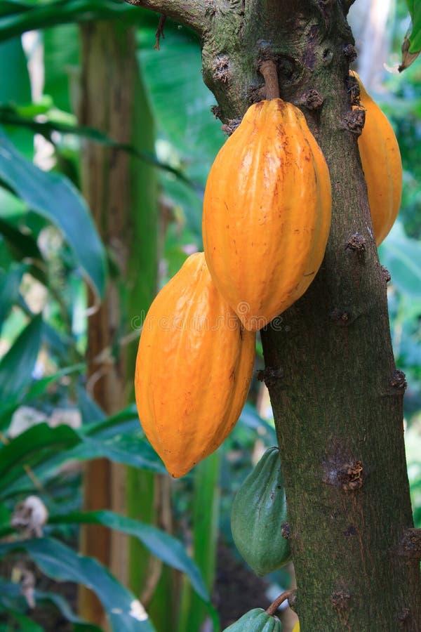 Cacaopeulen royalty-vrije stock afbeeldingen