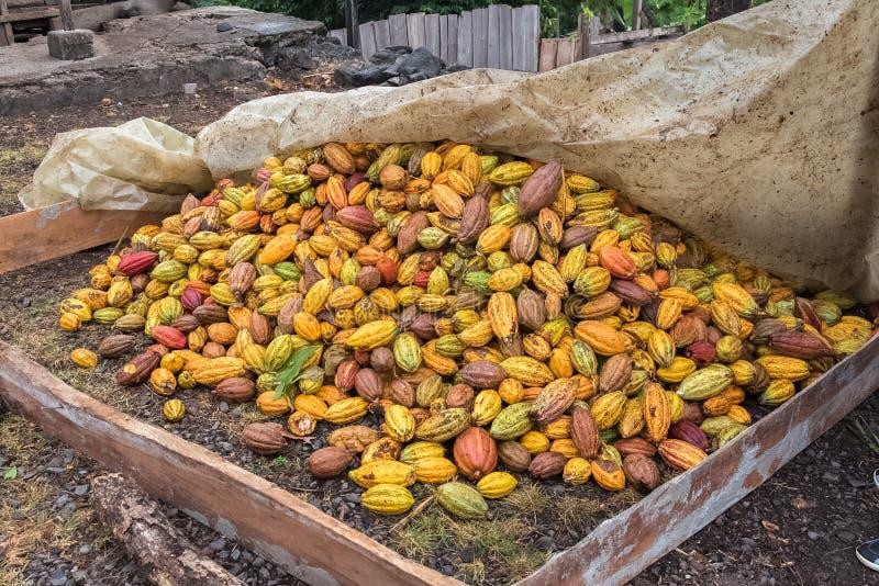 Cacaopeulen, cacao het drogen stock afbeelding