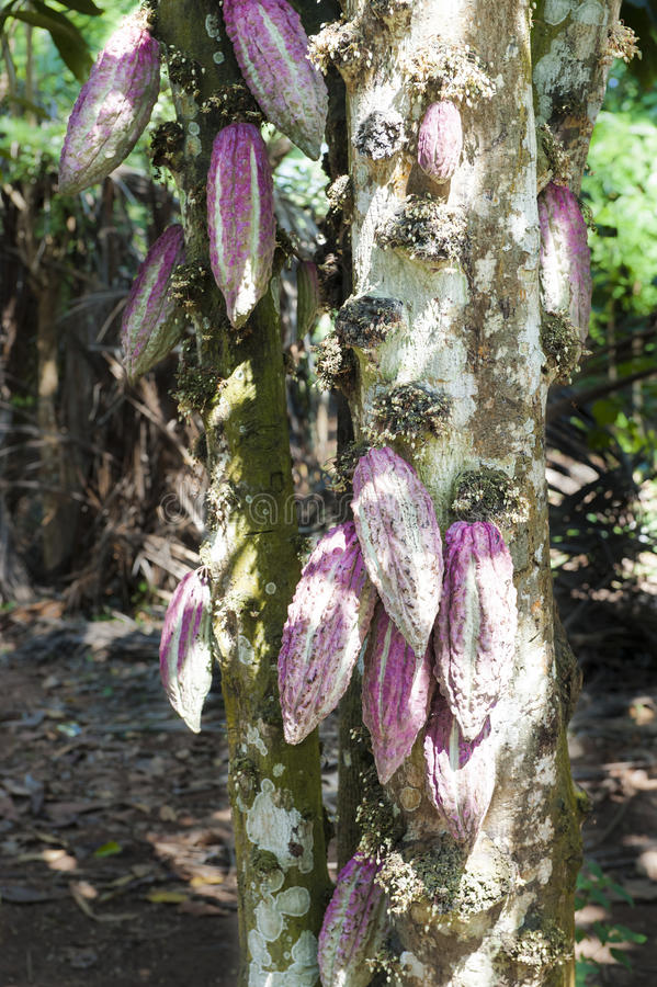 Cacaopeulen op boom stock afbeeldingen