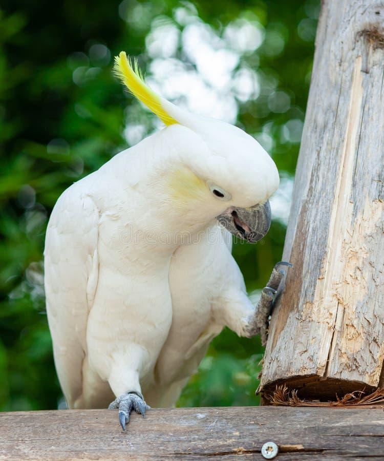 Cacatúa azufre-con cresta blanca, galerita del Cacatua foto de archivo