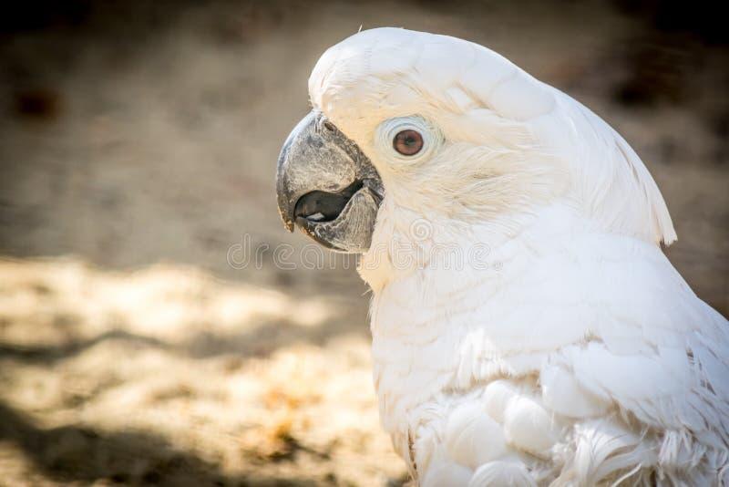 Cacatúa blanca del loro con un primer alegre del humor cacatúa Azufre-con cresta en naturaleza imagen de archivo libre de regalías
