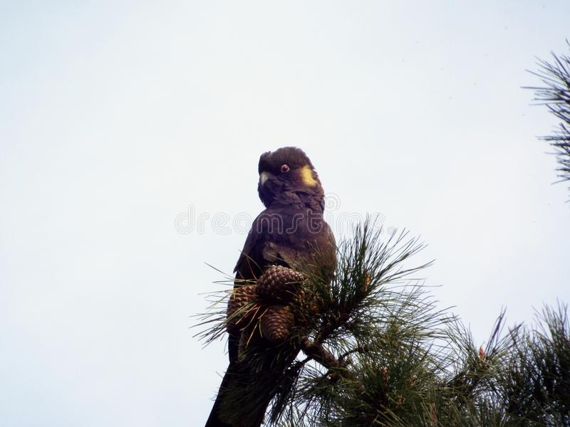 cacatúa negra Amarillear-atada foto de archivo