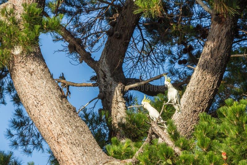 cacatúas Azufre-con cresta, galerita del Cacatua en un árbol en Tasmania fotografía de archivo libre de regalías