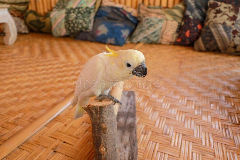 Cacatoès blanc de perroquet parlant avec la touffe jaune Cacatoès crêté de soufre dans Bali Le cacatoès crêté de soufre marche su images libres de droits