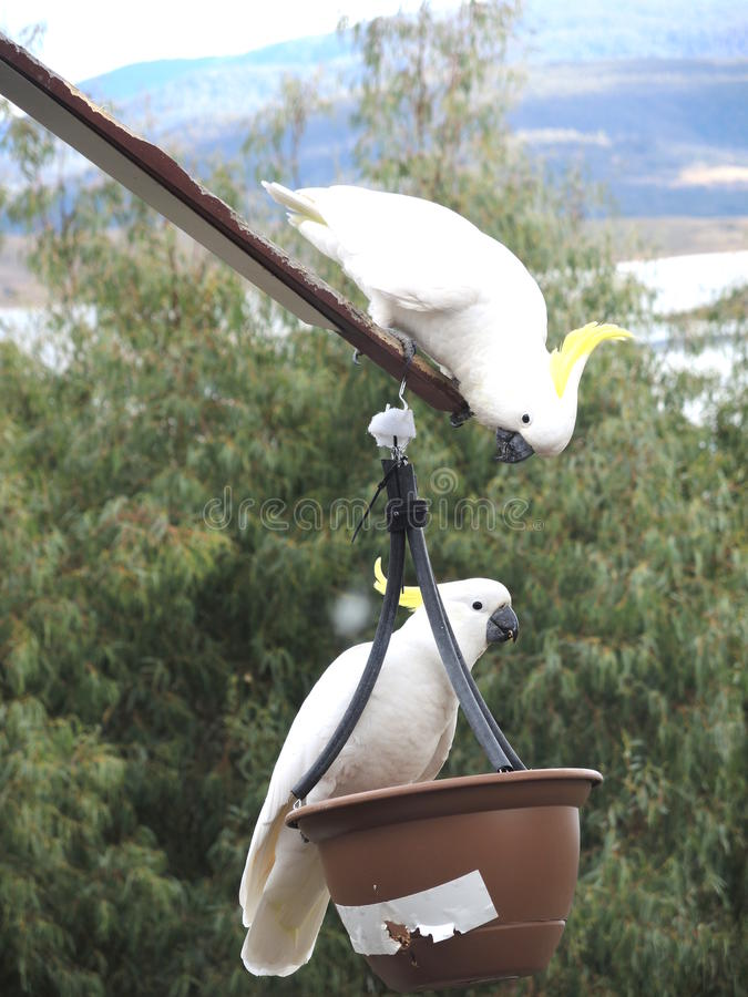 Cacatoès crêtés jaunes blancs parlant entre eux image libre de droits