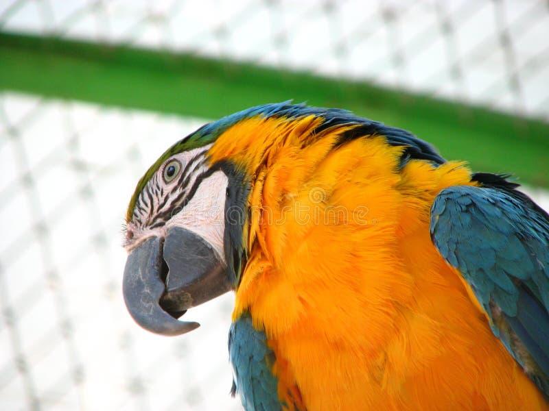 Cacatoès de perroquet photos libres de droits