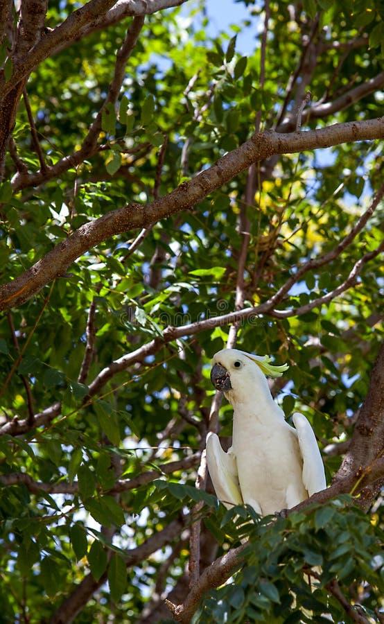 Cacatoès en Victoria Park dans l'Australie de Dubbo image libre de droits