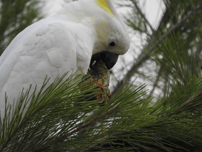 Cacatua che mangia un pinecone immagini stock libere da diritti