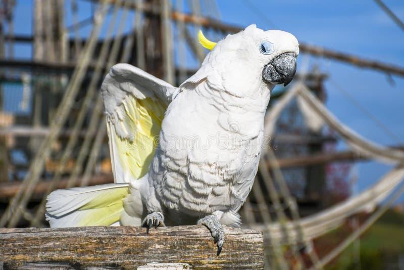 Cacatua crestata gialla bianca, galerita del Cacatua, stante su una vecchia barca di legno fotografie stock libere da diritti