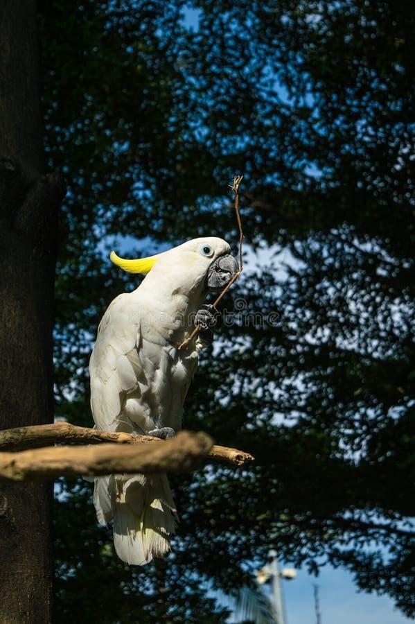 Cacatua crestato giallo Sulhurea della cacatua che tiene piccolo ramo mentre pertica sull'albero fotografie stock libere da diritti