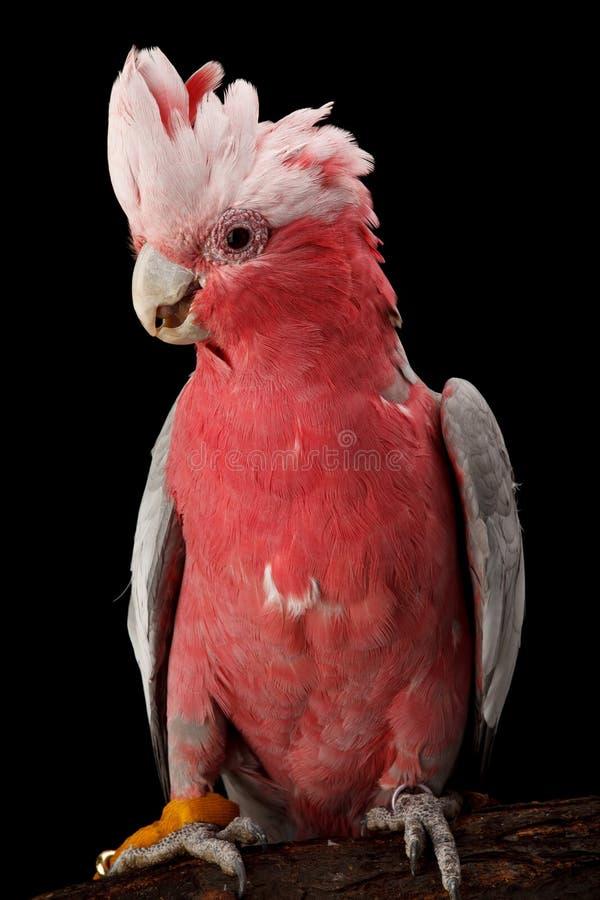 Cacatua de Rosa-breasted, Galah. imagem de stock