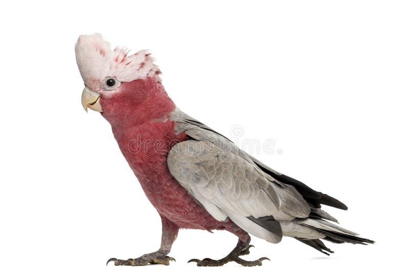 Cacatua di Rosa-breasted (2 anni) immagini stock libere da diritti
