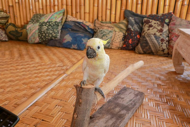 Cacatua galerita - Czubaty kakadu obsiadanie na gałąź w Bali Duży biały i żółty kakadu z bambusowym tłem zdjęcie royalty free