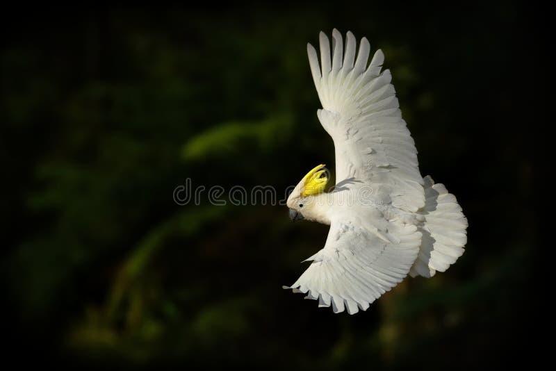 Cacatua galerita - Gelbhaubenkakadufliegen in Australien Großer weißer und gelber Kakadu mit grünem Hintergrund stockfotos