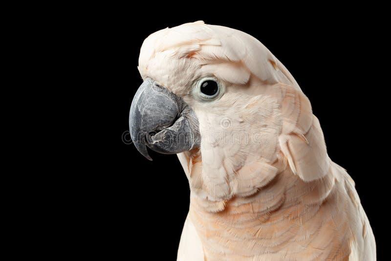 Cacatua molucana bonita principal do close up, papagaio salmão-com crista cor-de-rosa, preto isolado imagem de stock royalty free
