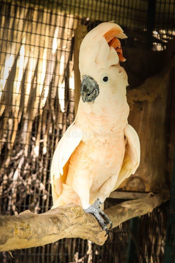 Cacatua molucana na gaiola fotos de stock royalty free