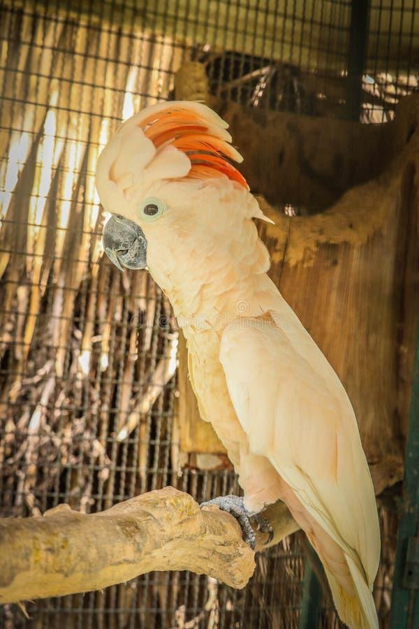 Cacatua molucana na gaiola imagens de stock royalty free