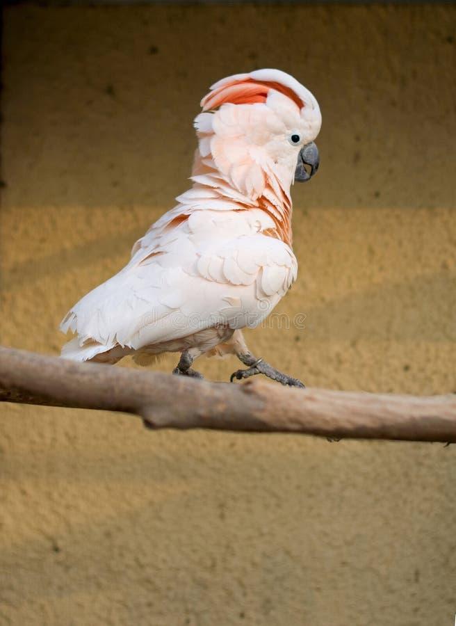 Cacatua Moluccensis images stock