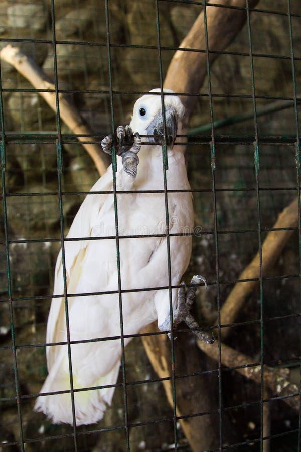 Cacatua na gaiola filipinas fotografia de stock