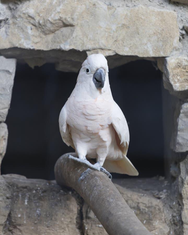 Cacatua papuga na swój żerdzi zdjęcie royalty free