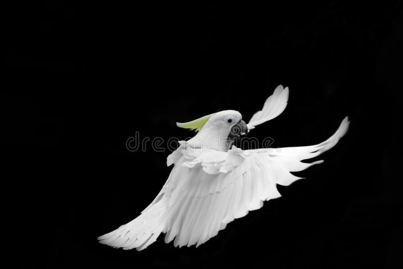Cacatua Zolfo-crestata bianca volante isolata su fondo nero fotografie stock libere da diritti