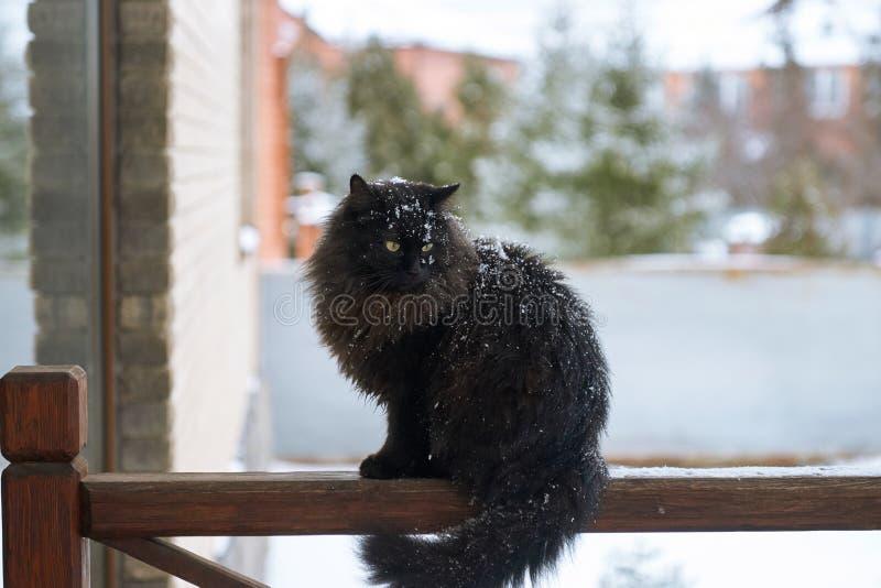 Cacce del gatto della neve fotografia stock libera da diritti
