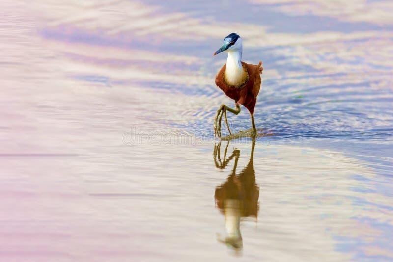 Cacce dell'uccello sul lago fotografia stock libera da diritti