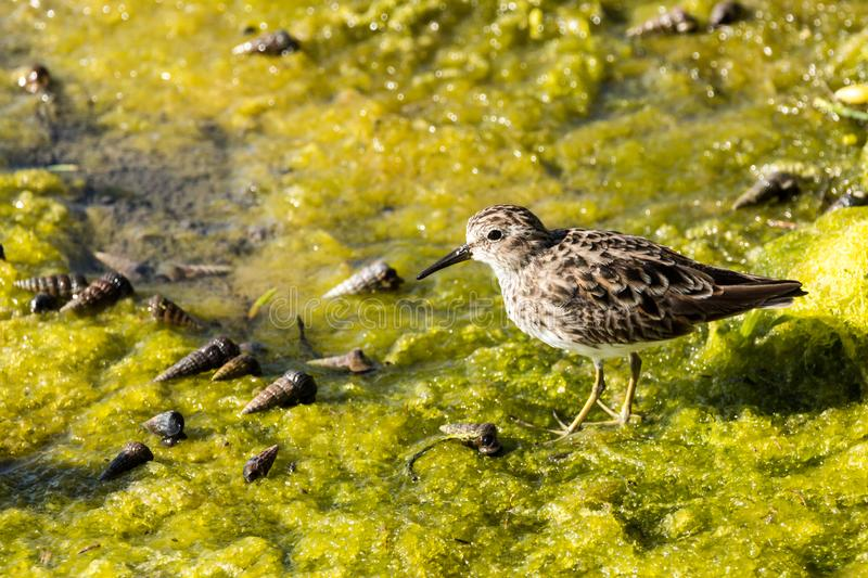 Caccia agli'uccelli della riva per la cena nel sorriso verde fotografia stock libera da diritti