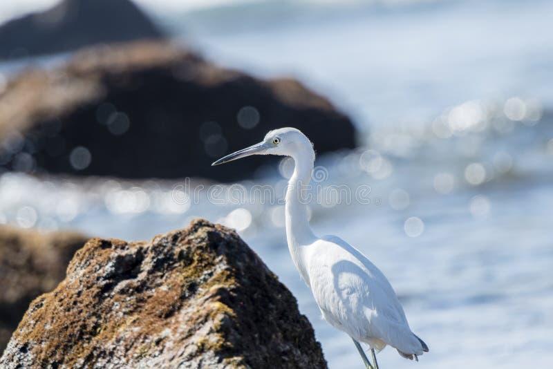 Caccia bianca acerba di caerulea dell'egretta dell'airone di piccolo blu fotografia stock