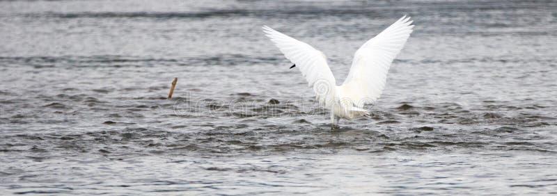 Caccia bianca dell'ombra dell'egretta con le sue ali nella prerogativa di natura in San Jose del Cabo nella Bassa California Mess immagine stock libera da diritti