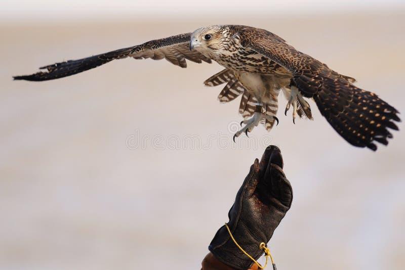 Caccia col falcone con Gyrfalcon immagini stock libere da diritti