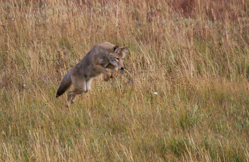 Caccia del coyote fotografie stock libere da diritti