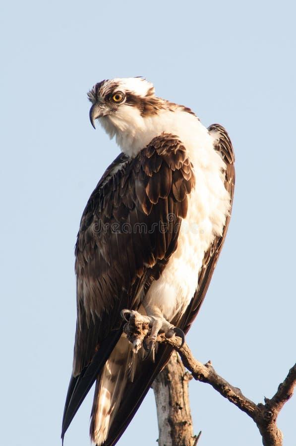 Caccia del falco pescatore di Florida immagini stock
