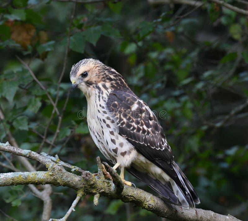 Caccia del falco Vasto-alata giovane fotografia stock libera da diritti