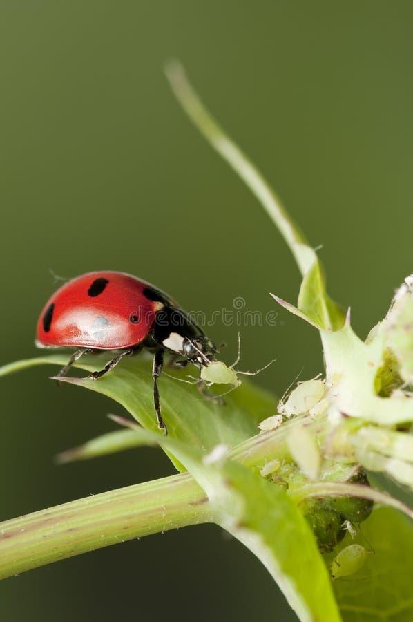 Caccia del Ladybug per gli afidi fotografia stock