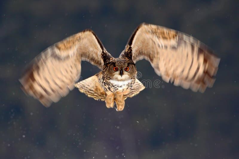 Caccia della mosca di Eagle Owl del eurasian durante l'inverno circondato con i fiocchi di neve, scena di volo di azione con l'uc fotografia stock libera da diritti