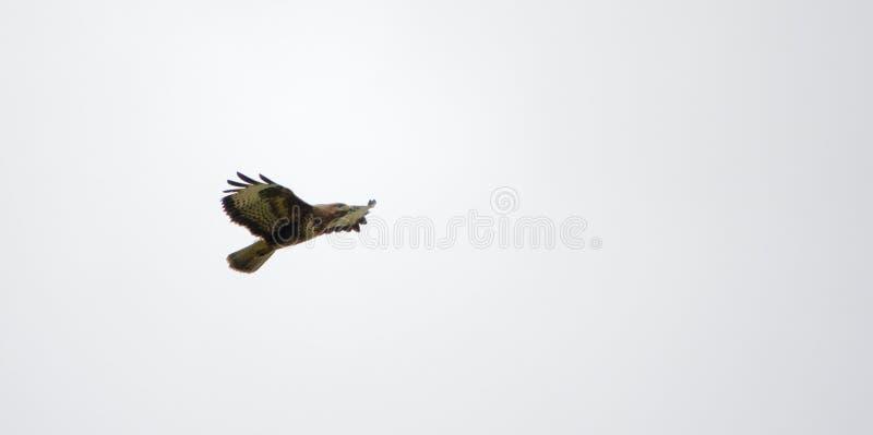 Caccia di Marsh Harrier immagini stock
