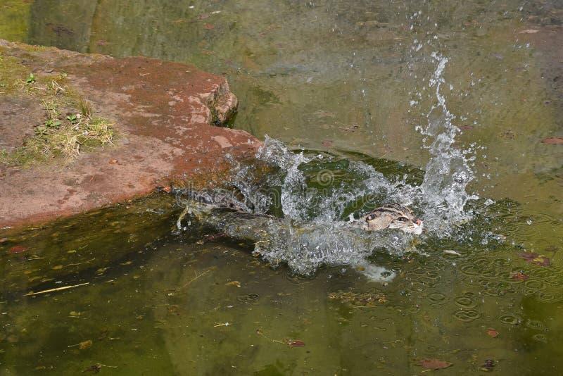 Caccia e nuoto del gatto di pesca in acqua immagine stock