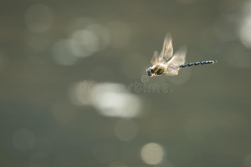 Caccia migratore della libellula del venditore ambulante fotografia stock