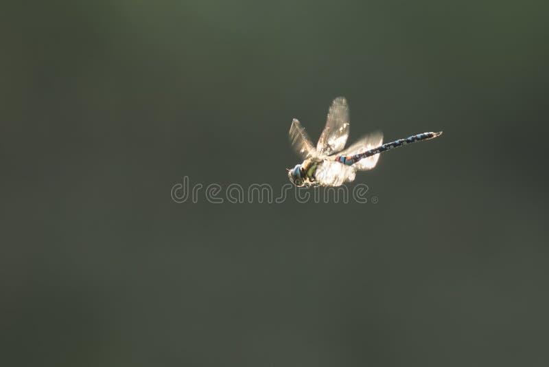 Caccia migratore della libellula del venditore ambulante immagine stock libera da diritti