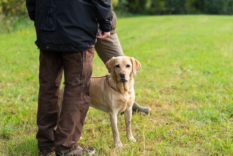 Cacciatore con la condizione gialla di labrador in un campo immagini stock